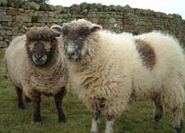 Cottages on a farm - sheep